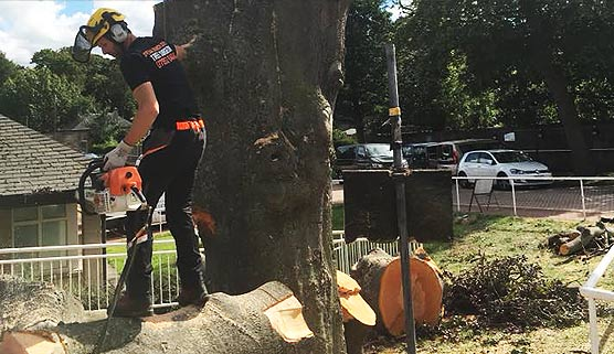 tree surgeon felling a beech tree