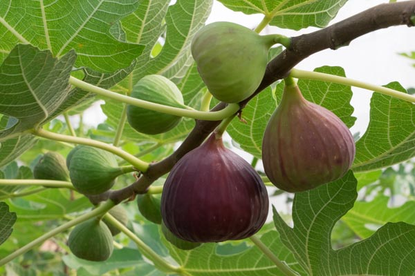 fig tree fruit on the branch