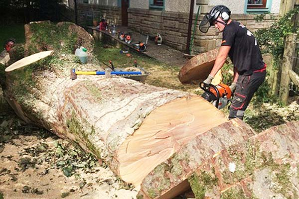 slicing up a sycamore tree with a chainsaw